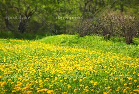 Image Source: http://depositphotos.com/8132072/stock-photo-Dandelion-Meadow