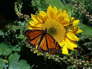 Image Source: http://hdwallpapers4desktop.com/lovers-delight-yellow-sunny-nature-butterfly/