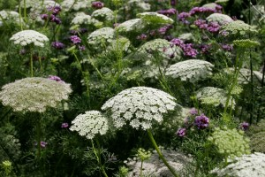 Image Source: http://greencubelandscapes.blogspot.com/2011/08/dixter