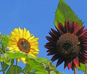 Image Source: http://www.dailybulldog.com/db/wp-content/uploads/2013/08/sunflowers.jpg