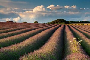Image Source: http://i.telegraph.co.uk/multimedia/archive/01486/landscape-lavender_1486220i.jpg