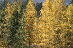 Image Source: http://www.animalsprints.com/p/491/tamarack-trees-larix-laricina-early-october-clearwater-co-mn-6128210.jpg